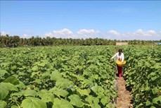 Phát triển mạnh diện tích cây màu trên vùng đất ven biển ở Trà Vinh