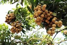 Mở rộng cơ hội xuất khẩu cho trái nhãn Việt Nam