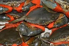 Thu nhập cao từ nuôi cua biển ở Trà Vinh