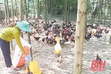 Thoát nghèo từ nuôi gà thả vườn an toàn ở huyện miền núi Như Xuân