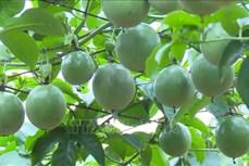 Nông nghiệp Sơn La khởi sắc từ chủ trương trồng cây ăn quả trên đất dốc
