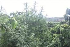 Phát hiện vụ trồng cây cần sa xen trong rẫy cà phê ở Đắk Song