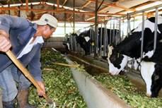 """""""Hái"""" ra tiền từ nuôi bò sữa ở xã Thái Hòa"""