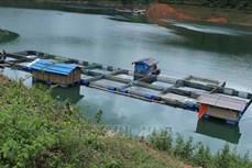 Hướng đi mới từ nuôi cá lồng trên lòng hồ thủy điện ở huyện Tân Uyên