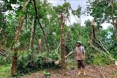Thừa Thiên – Huế: Hỗ trợ người dân trồng cao su bị thiệt hại do bão số 5