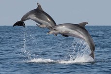 Cá heo robot – hướng tiếp cận nhân văn góp phần bảo vệ động vật hoang dã