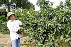 Người tiên phong trồng cam ghép trên gốc bưởi đạt hiệu quả cao