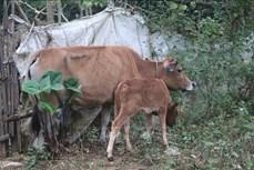 Cao Bằng tăng cường phòng, chống bệnh viêm da nổi cục ở đàn trâu bò
