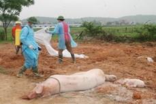 Dịch tả lợn châu Phi vẫn diễn biến phức tạp tại Đắk Lắk