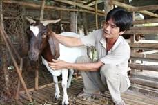 Giá dê, cừu tại Ninh Thuận liên tục tăng cao