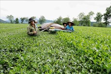 Phú Thọ: Phát triển cây chè gắn với du lịch