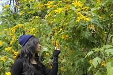 Xây dựng hình ảnh mùa hoa dã quỳ ở Ba Vì thành sản phẩm du lịch hấp dẫn