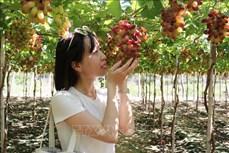 Ninh Thuận tạo bước đột phá, thúc đẩy du lịch nông nghiệp phát triển bền vững