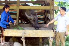 Tuyên Quang đảm bảo nguồn thức ăn dự trữ, phòng chống đói, rét cho vật nuôi