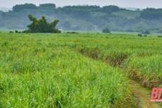 Người dân miền núi Thanh Hóa thoát nghèo nhờ cây mía