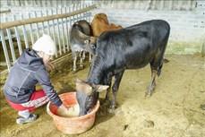 Điện Biên bảo vệ đàn gia súc trong điều kiện thời tiết giá rét