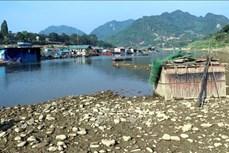 Nước sông Lô cạn, người nuôi cá lồng bị ảnh hưởng nghiêm trọng