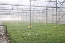 Hiệu quả từ liên kết sản xuất nông nghiệp ứng dụng công nghệ cao ở Bà Rịa-Vũng Tàu