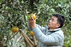 Anh Lò Văn Thơm đi đầu trong phong trào nông dân phát triển kinh tế