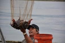 Triển vọng mô hình nuôi cá Lăng Nha lồng bè tại Quảng Ngãi