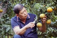 Ông Cầm Duy Vinh cải tạo vườn tạp để trồng cây ăn quả có hiệu quả kinh tế cao