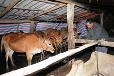 Thay đổi tập quán chăn nuôi, phòng chống đói rét cho trâu bò