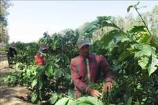 Các hợp tác xã ở Kon Tum hỗ trợ nông dân tìm đầu ra cho sản phẩm