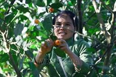 Phục hồi giống quýt bản địa cho hiệu quả kinh tế cao ở huyện Bá Thước