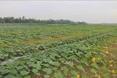 Trà Vinh giảm diện tích trồng lúa để tăng hiệu quả sản xuất