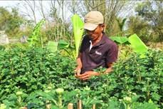 Các làng hoa vùng lũ ở Thừa Thiên – Huế nhộn nhịp chuẩn bị sản phẩm cho vụ Tết