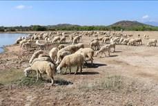 Tăng năng suất, giá trị sản phẩm từ chăn nuôi cừu ở Ninh Thuận
