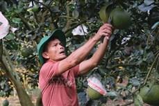 Trở thành tỷ phú từ trồng bưởi da xanh ở Đạ Lây