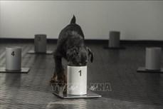 Thái Lan huấn luyện chó nghiệp vụ phát hiện người mắc COVID-19