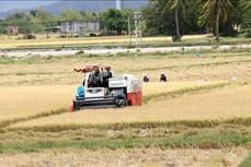 Nông dân Ninh Thuận lãi 40 triệu đồng/ha lúa Đông Xuân
