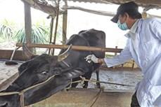 Nghệ An khẩn trương phòng chống dịch bệnh trên đàn gia súc
