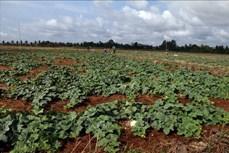 Hiệu quả mô hình trồng dưa lê trên nền đất lúa mùa khô hạn ở Vĩnh Thuận