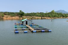 Hiệu quả mô hình thử nghiệm nuôi cá lồng trên sông Pô Kô