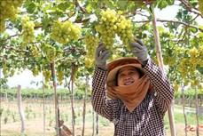 Nông dân Ninh Thuận chuyển đổi cơ cấu cây trồng tăng hiệu quả kinh tế
