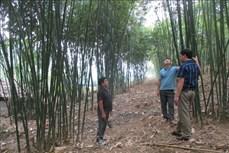 Người dân vùng biên Quan San giảm nghèo nhờ trồng cây luồng