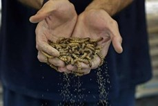 """Sâu gạo hứa hẹn trở thành """"siêu thực phẩm"""" tại Kuwait"""