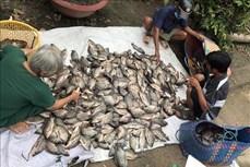 Nông dân vùng U Minh Thượng tăng thu nhập từ nuôi cá đồng