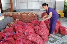 Nông sản chủ lực của Ninh Thuận gặp khó về đầu ra