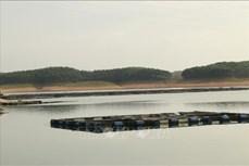 Phát triển nghề nuôi cá đặc sản trên hồ Thác Bà