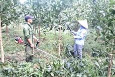Phú Thọ mở rộng diện tích trồng, chuyển hóa rừng cây gỗ lớn
