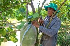 Quả ngọt từ chuyển đất lúa kém hiệu quả sang trồng cây ăn trái ở Cần Thơ