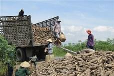 Nông dân trồng sắn Tây Ninh lãi 40 - 50 triệu đồng/ha
