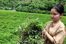 Tăng hiệu quả kinh tế cho cây thạch đen Cao Bằng