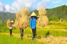 Lai Châu chú trọng bảo tồn, phục tráng các giống lúa bản địa