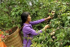 """""""Đũa thần"""" giúp nông nghiệp Lào Cai chuyển mình"""