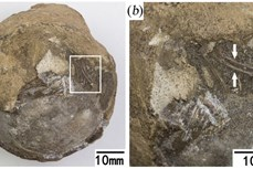 Phát hiện trứng hóa thạch vẫn còn phôi thai của loài rùa khổng lồ thời tiền sử